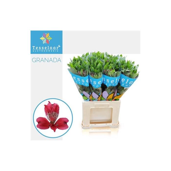 <h4>Alstr Granada</h4>