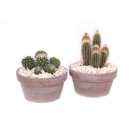 <h4>Edel- Ev861 Cactus Gemengd Keramiek Schaal+ Houtsn</h4>