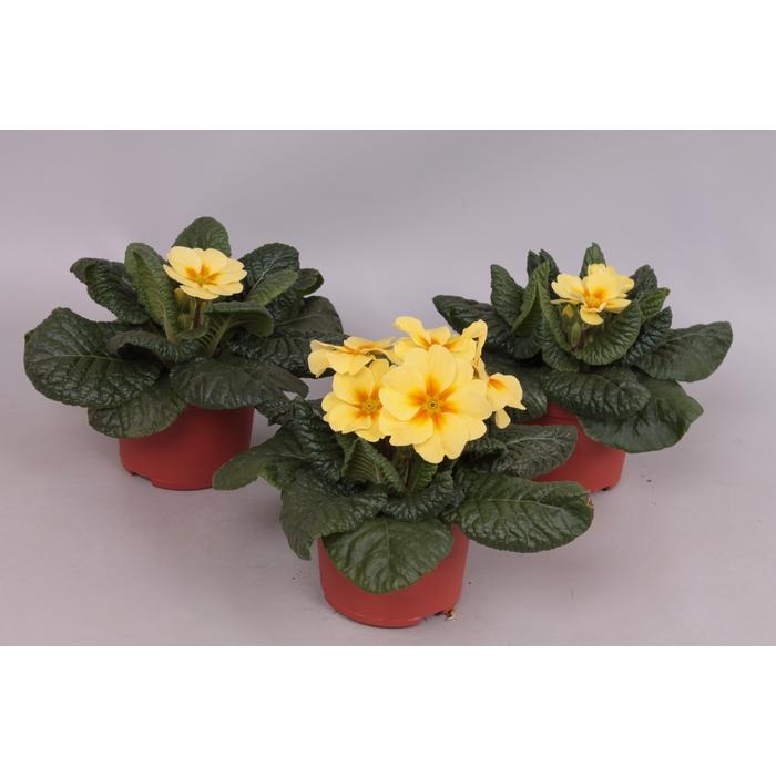 <h4>Primula acaulis Creme Geel</h4>