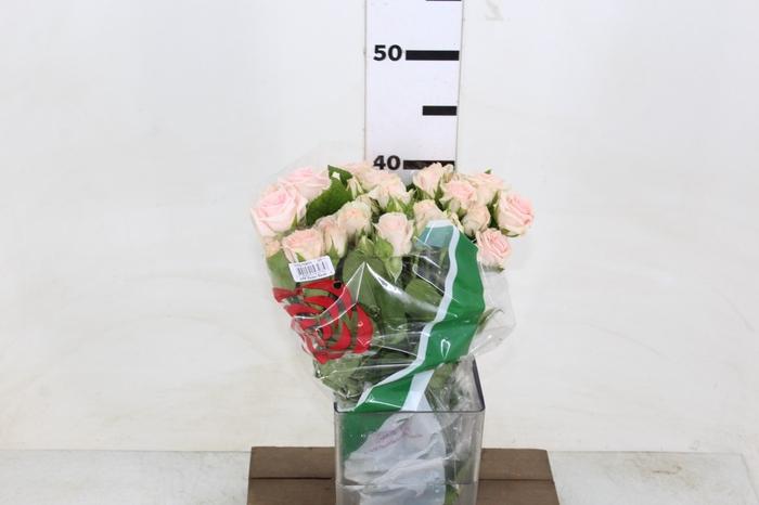 <h4>ROSA SPRAY SWEET SARAH 040 CM</h4>
