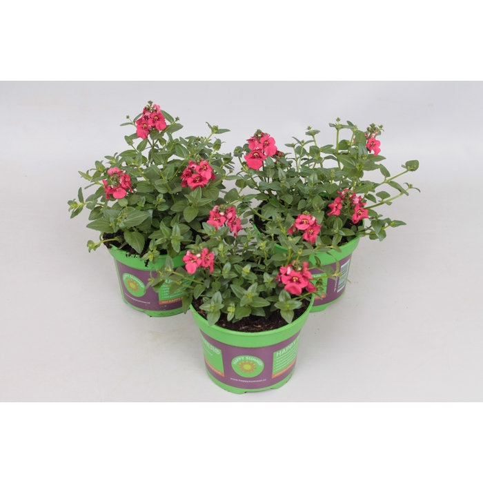 <h4>Diascia flying Colors Red</h4>