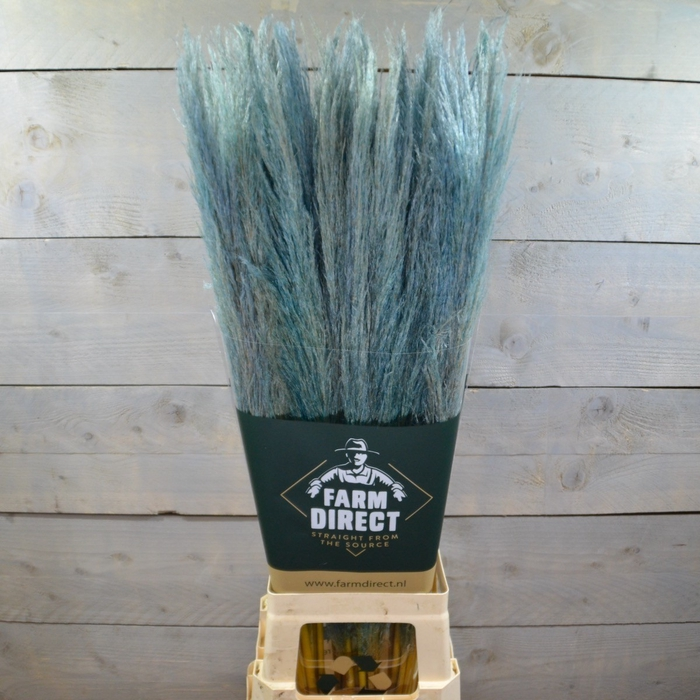 <h4>PAMPAS BABY BLUE DRIED</h4>
