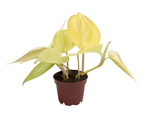 <h4>Philodendron Neon</h4>