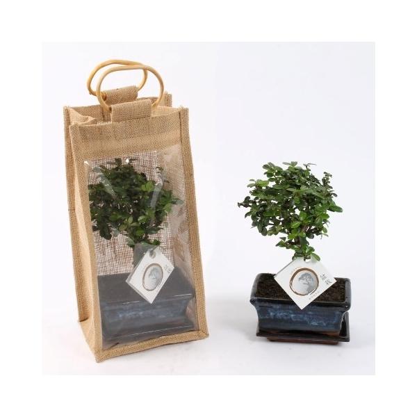 <h4>Bonsai mix 15cm in jute giftbag</h4>
