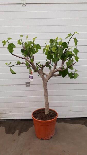 <h4>Ficus carica (Vijg)</h4>