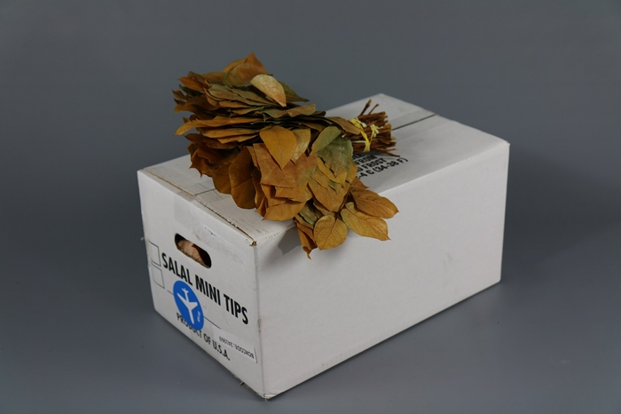 <h4>Salal  Mini Tips  Preserved Yellow</h4>