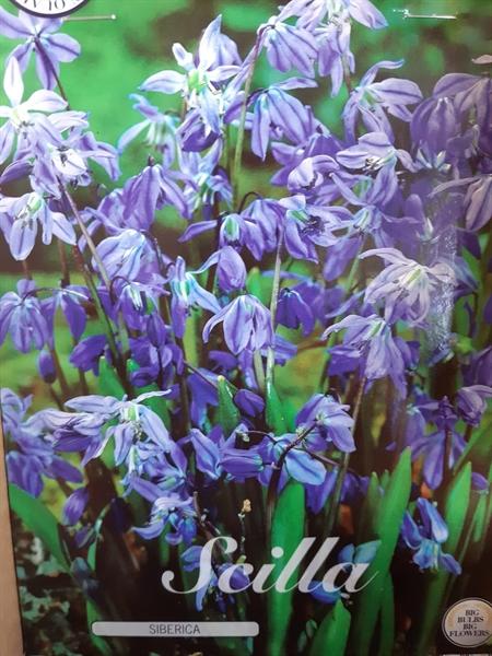 <h4>Scilla  ..flowerbulbs</h4>