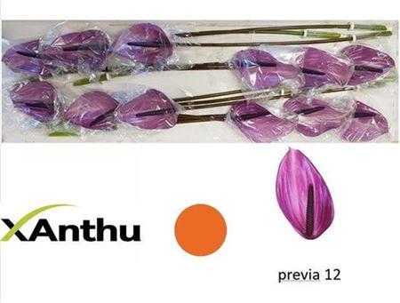 <h4>ANTH A PREVIA X12</h4>