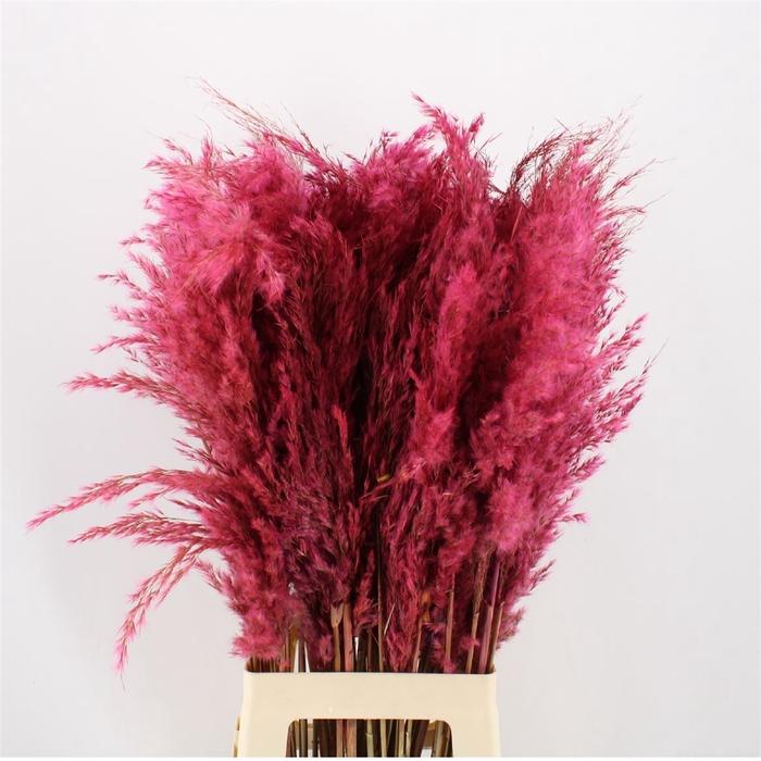 <h4>Pampas Pink</h4>