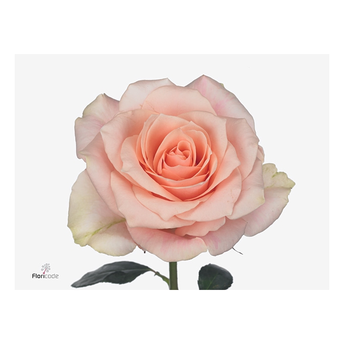<h4>Rosa large flowered Harmony in Peach</h4>