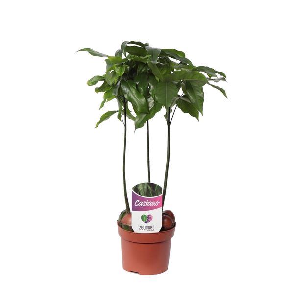 <h4>Castanospermum Castano Magnifico</h4>