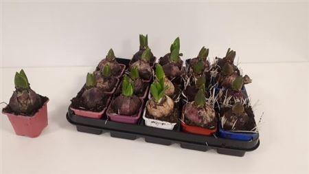 <h4>Hyacint Gem 5 Kl</h4>