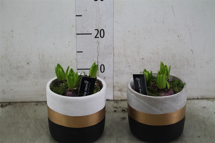 <h4>Hyacinth Mix 739 Design Mix</h4>