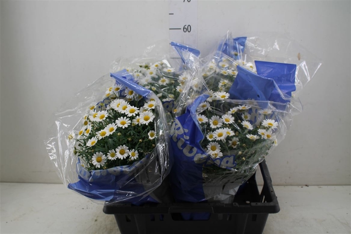 <h4>Argyranthemum Frutescens Bush Wit</h4>
