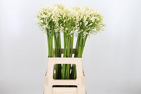 <h4>Agapanthus FU 'White Classic'</h4>