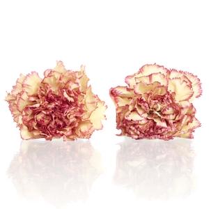 Carnation (anjer) Coralie 4,5-5cm
