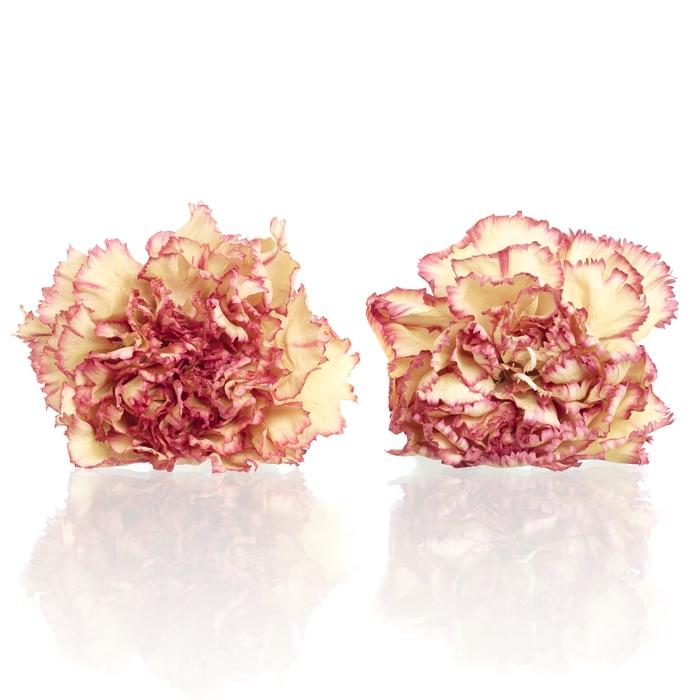 <h4>Carnation (anjer) Coralie 4,5-5cm</h4>
