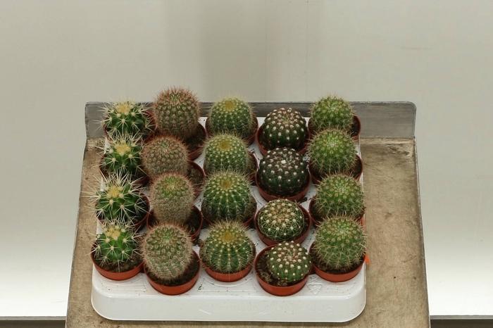 <h4>Cactus Bolmix</h4>
