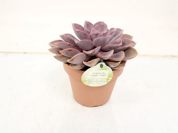 <h4>Echeveria Purple Perle</h4>