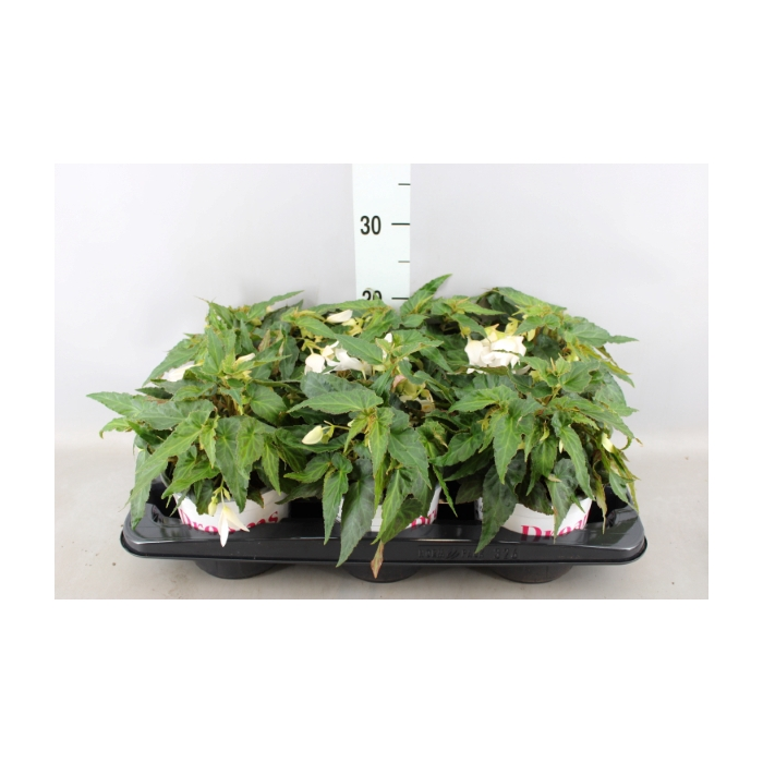 <h4>Begonia  'Wfall Dreams Encan White'</h4>