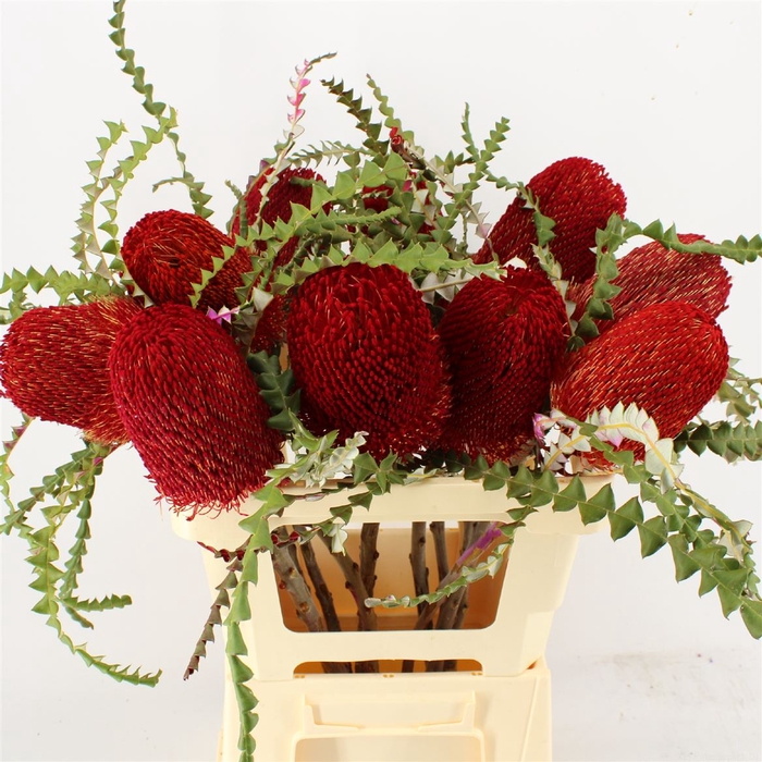 <h4>Banksia Speciosa Red</h4>