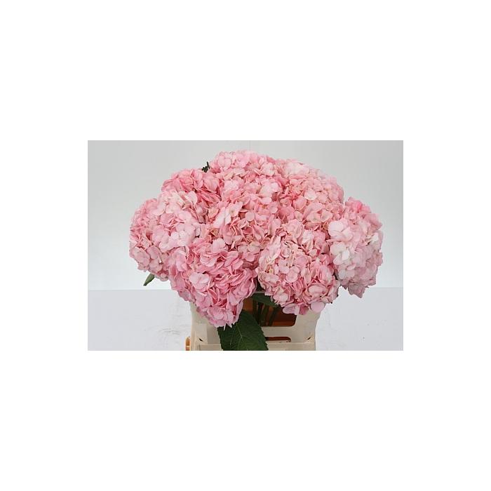 <h4>Hydr Imp Pink Pink - Premium</h4>