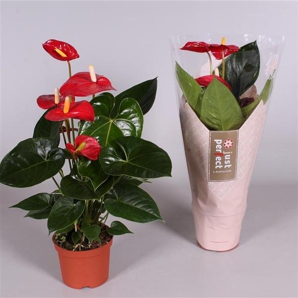 <h4>Anthurium Turenza</h4>
