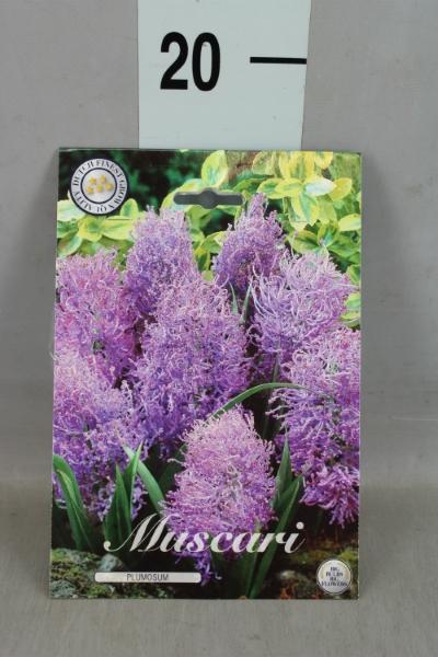 <h4>Muscari   ...flowerbulbs</h4>
