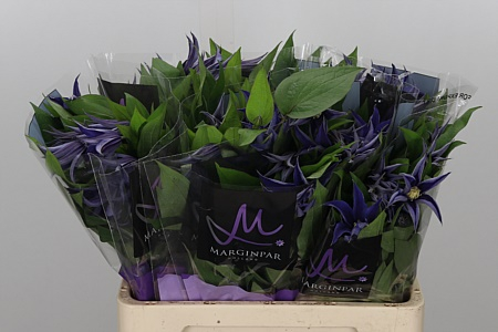 <h4>Clematis Amazing Oslo Blue</h4>