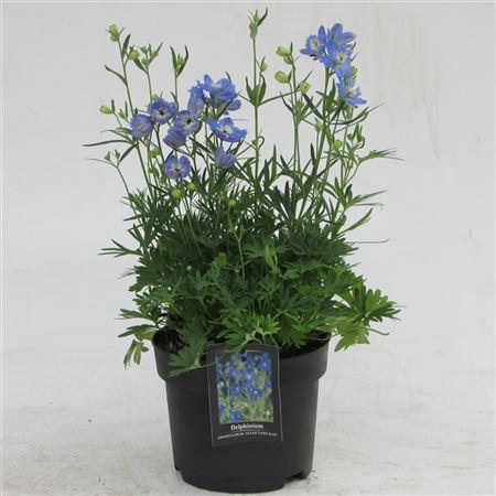 <h4>Delphinium Blauw</h4>