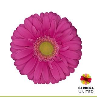 <h4>Gerbera Showcase</h4>