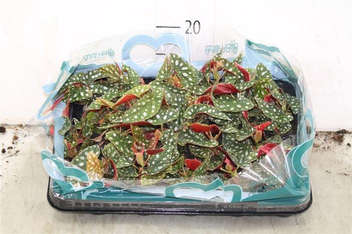 <h4>Begonia Blad Maculata</h4>
