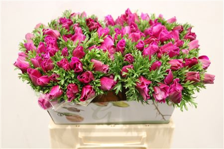 <h4>Anem Flashy Orchid</h4>