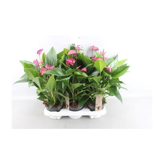 <h4>Anthurium  'Cirano'</h4>