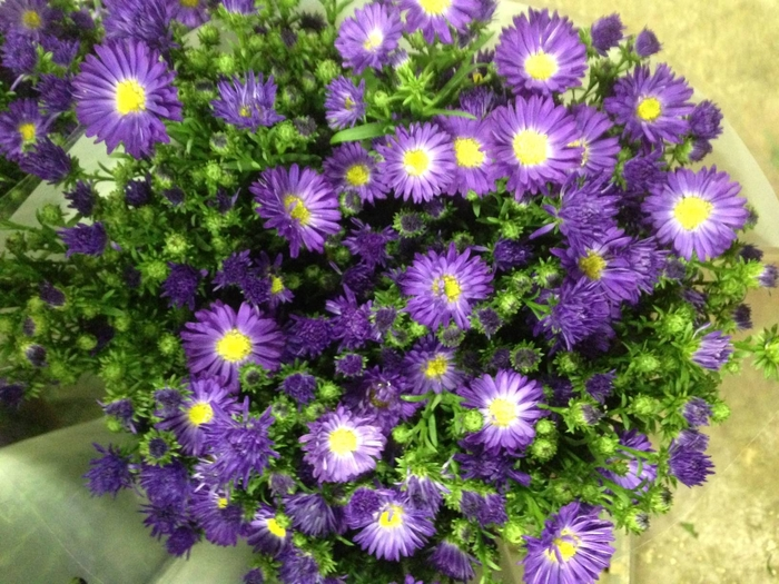 <h4>Aster Audrey Purple</h4>