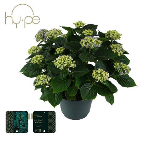 <h4>Hydrangea Curly Wurly Blue 10+</h4>