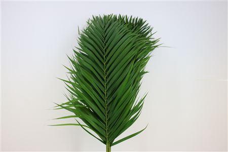 <h4>Cane Palm 100cm</h4>
