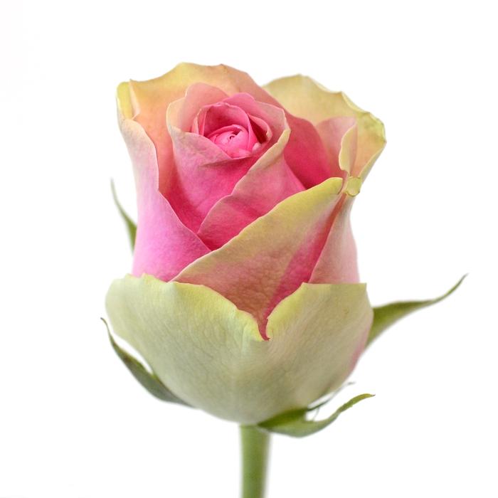 <h4>Rose Belle Vue</h4>
