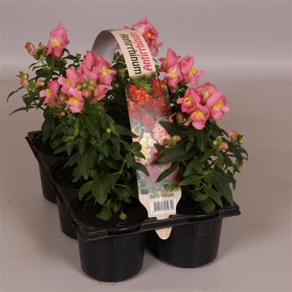 <h4>Antirrhinum majus overig roze 6p</h4>