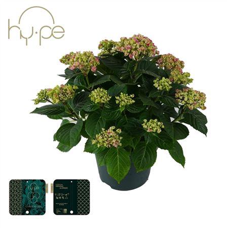 <h4>Hydrangea Curly Wurly Pink 7+</h4>