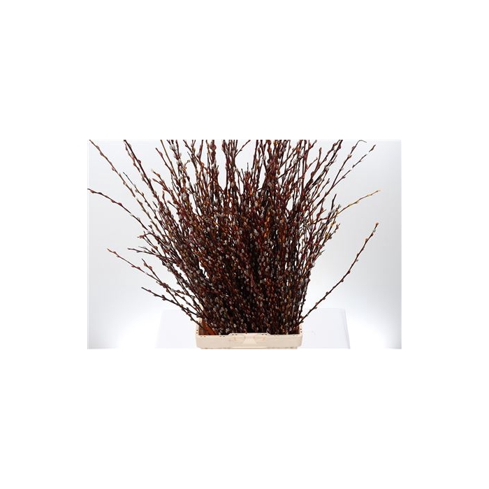 <h4>Salix Ov Bs</h4>