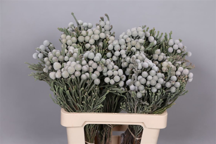 <h4>Brunia Leavis (silver Brunia)</h4>