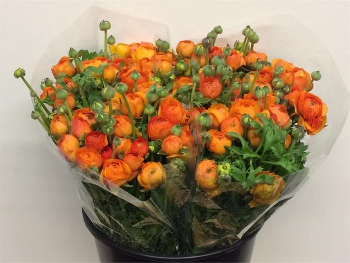 <h4>Ran El Orange Super</h4>
