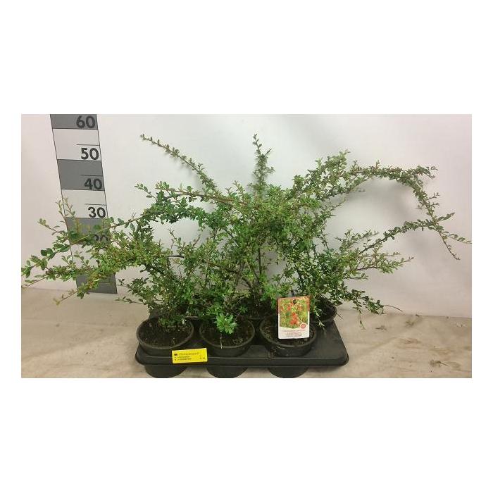 <h4>Cotoneaster suecicus 'Coral Beauty'</h4>