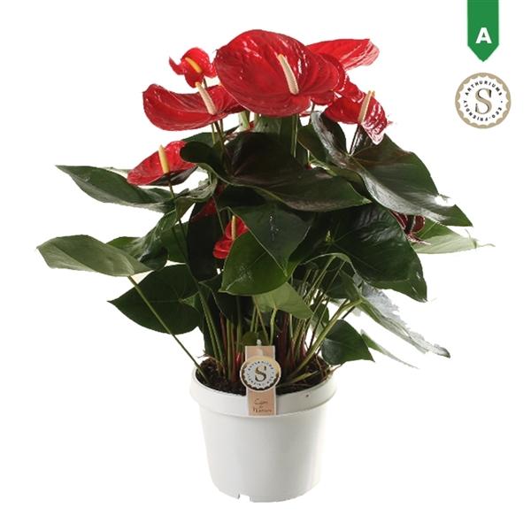 <h4>Anthurium Red Champion 21cm</h4>