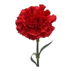 Clavel Rojo Fancy (Aposento)