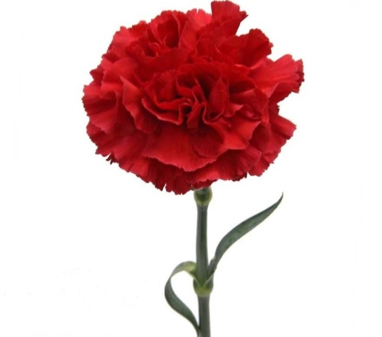 <h4>Clavel Rojo Fancy (APOSENTO)</h4>