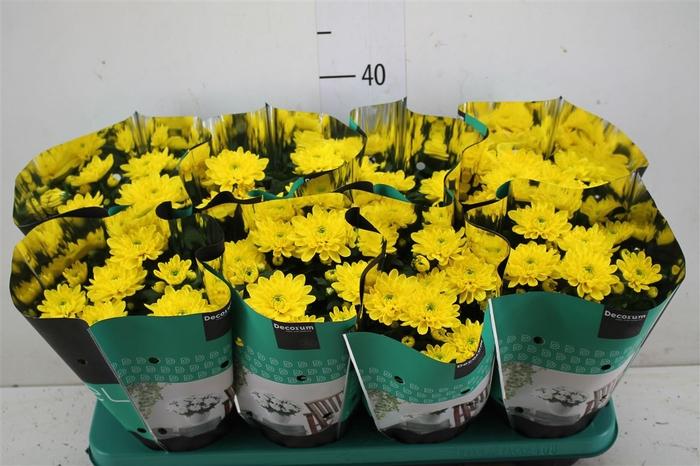 <h4>Chrysanth Grandezza Geel</h4>