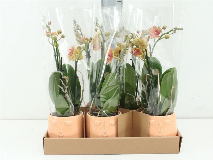 <h4>Phalaenopsis In Happy Face Pot Peach</h4>