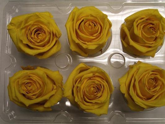 <h4>R Prs Yellow</h4>